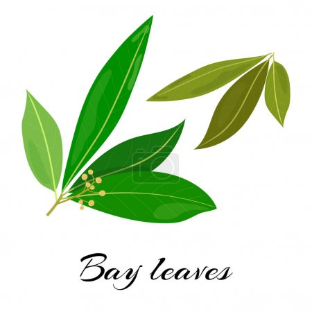 Raw and dried bay leaves. Colored vector