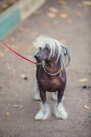 Chinese crested dog walks on  street on  leash