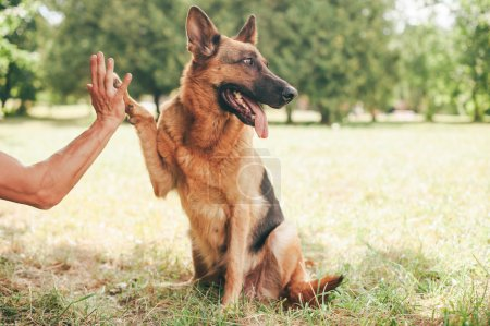 German shepherd giving paw