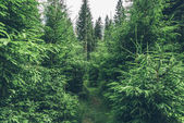 Beautiful pine trees in forest
