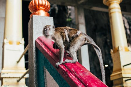 Long-tailed monkey on railing