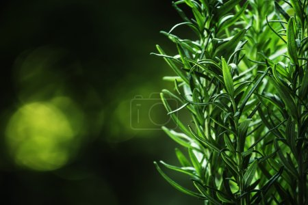 Photo for Fresh rosemary on blurred natural background, selective focus - Royalty Free Image