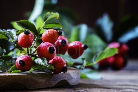 Fresh berries of wild rose