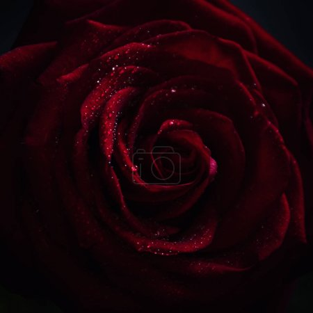 Red rose, dark background