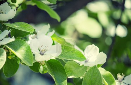Natural background with apple blossoms