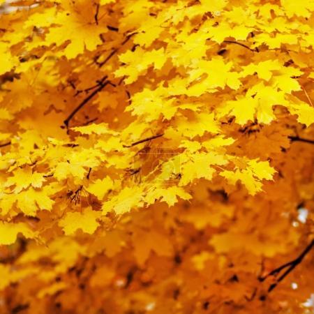 Photo pour Paysage d'automne avec orange maple leaves, mise au point sélective - image libre de droit