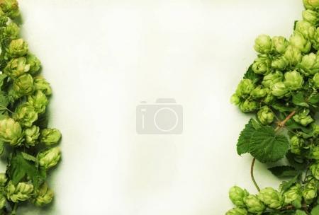 Fresh hop cones on wine on white background