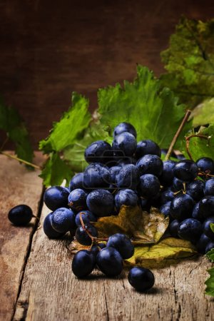 Blue wine grapes with green leaves