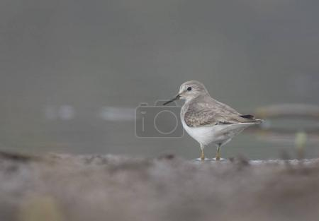 The Temminck's stint
