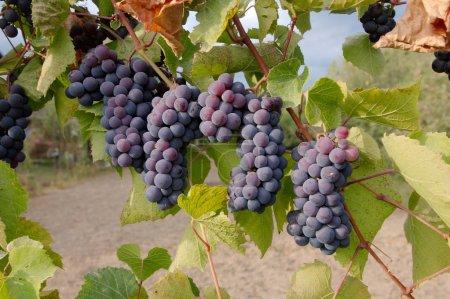 grapevines,Transilvania, Romania, Europe