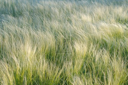 Feather grass, needle grass, or spear grass (Stipa sp.) Crimea