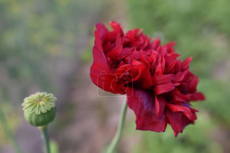 Photo for Red peony flower on background, close up - Royalty Free Image