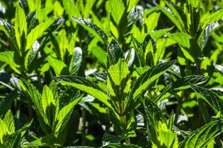 Photo pour Usine de menthe verte Cultivez au potager. Fond floral rafraîchissant . - image libre de droit
