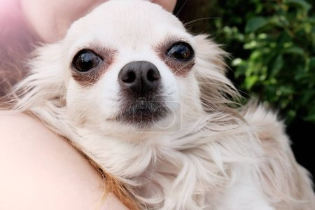 Little long haired Chihuahua dog. Portrait of a pet outdoors.