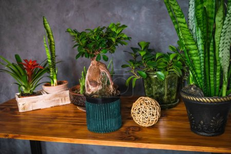 Photo pour Modern interior with dark walls and lots of potted houseplants on wooden table. Green plants in home decor. - image libre de droit