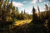 Road in the spruce forest at dawn in the mountains