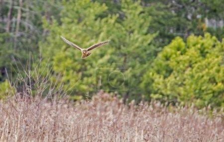 Photo pour Cooper's Hawk survolant un champ ouvert, chassant . - image libre de droit
