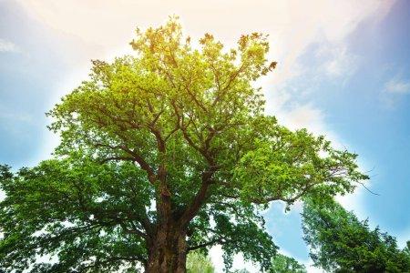 Photo for Majestic green oak tree on a meadow. Millennial oak over clear blue sky in the background. Lonely green oak tree on the meadow. - Royalty Free Image