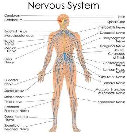 Illustration pour Tableau de biologie de l'éducation médicale pour le diagramme du système nerveux. Illustration vectorielle - image libre de droit