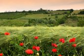 Beautiful poppies in the Tuscan countryside. Italy.