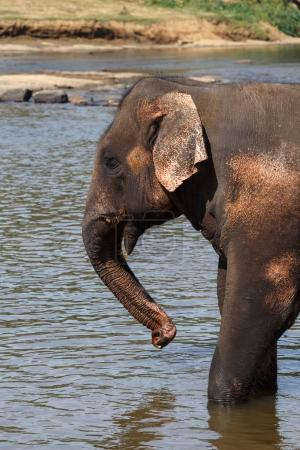 Elephants bathing in river.