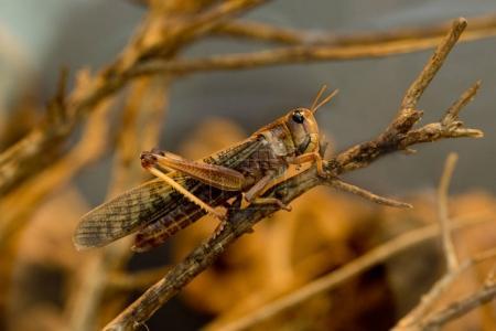 Migratory locust (Locusta migratoria).