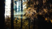 Sunbeams pour through trees in forest, light rays