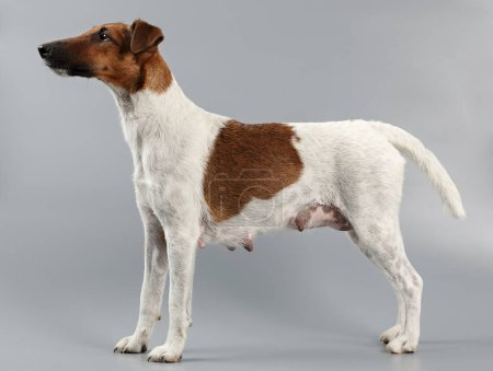 Female smooth fox terrier on a gray background. Hunting dog afte