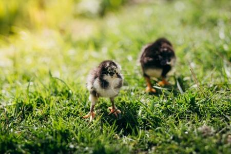 Little chickens on the grass