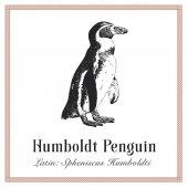 Humboldt Penguin Engraving Illustration Latin Spheniscus Humboldti Wild Arctic Ocean Bird