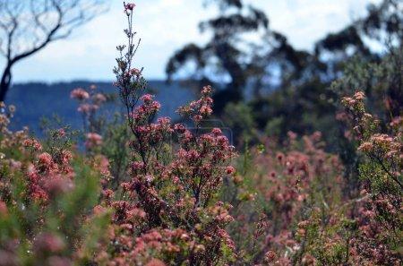 Australian native Fringe Myrtle flowers, Calytrix tetragona, growing in woodland in the Mt Canobolas State Conservation Area, Orange, NSW, Australia.