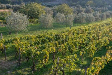 Olive trees and vineyard in late summer