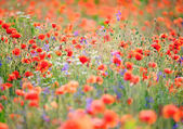 Red flowering poppies field