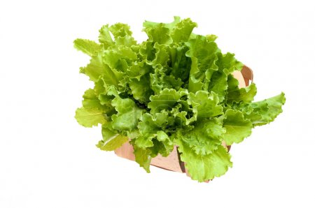 Fresh organic green lettuce in a basket isolated on white backgr