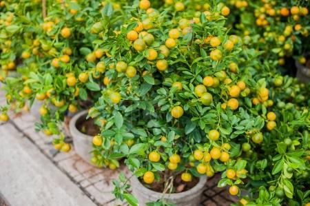 Kumquat, the symbol of Vietnamese lunar