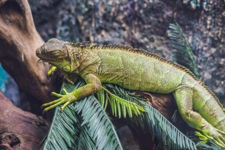 Caiman Lizard Dracaena guianensis