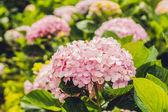 Branch of light Pink hydrangea flowers