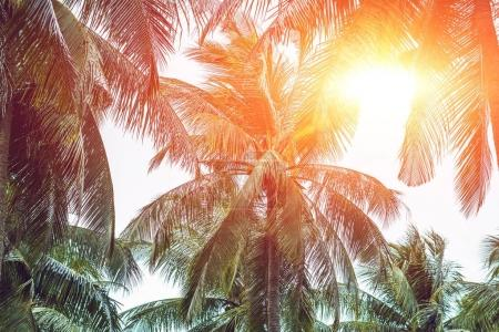 Palm tree crowns with green leaves on sunny sky background. Coco palm tree tops - view from the ground. Palm leaf on sunny sky. Green blue toned photo. Summer travel banner. Exotic island nature image.