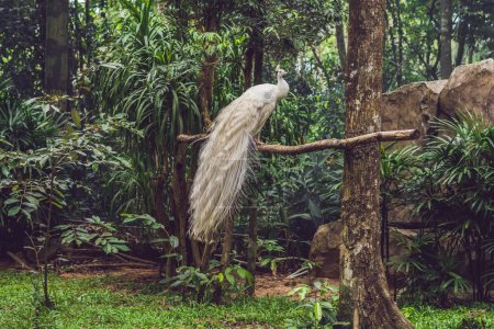 white peacock sitting on a branch in the park.