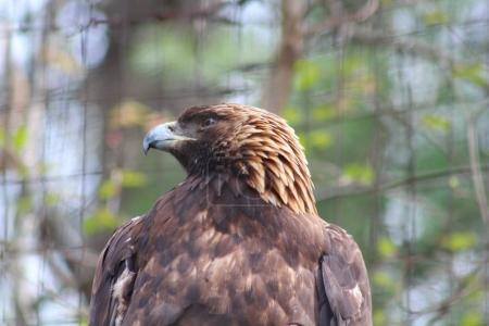 A large Eagle