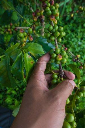 Photo pour Cerises (haricots) mûrissant sur une branche de caféier (gros plan) - image libre de droit