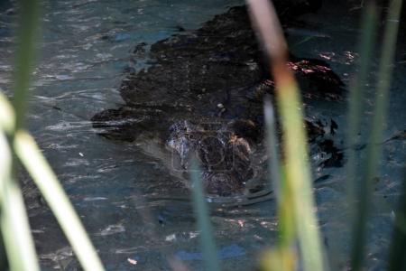 show of Australias crankiest crocodile