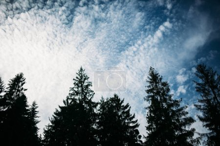 Tops of pine trees on background of blue sky with clouds. Silhouette. Background image.