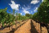 Vineyard landscape in autumn, Tuscany,