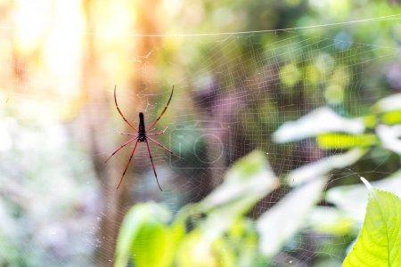 Black Orb-weaver Spider (Nephila kuhlii)