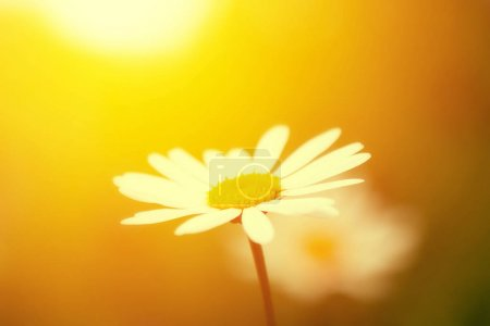 close-up of beautiful chamomile flower on blurred yellow background