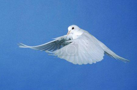 Photo pour Colombe blanche qui vole sur le ciel bleu - image libre de droit