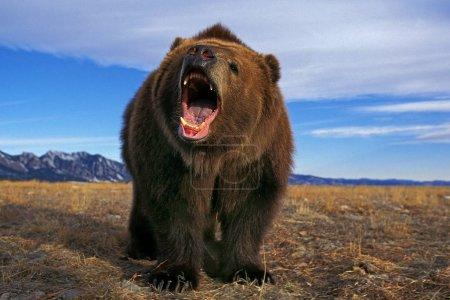 Photo pour KODIAK BEAR ursus arctos middendorffi, MENACE ADULTE À L'OUVERTURE (ALASKA) - image libre de droit