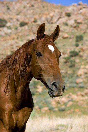Photo pour SADDLEBRED HORSE AMÉRICAINE, mammifère domestique - image libre de droit