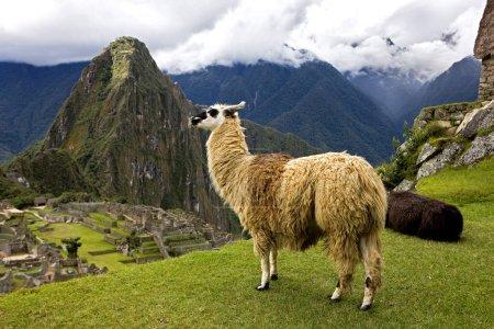 Foto de LLAMA lama glama EN MACHU PICCHU, LA CIUDAD PERDIDA DE INCAS, PERÚ - Imagen libre de derechos